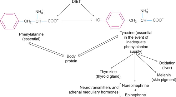 Phenylalanine An Overview Sciencedirect Topics