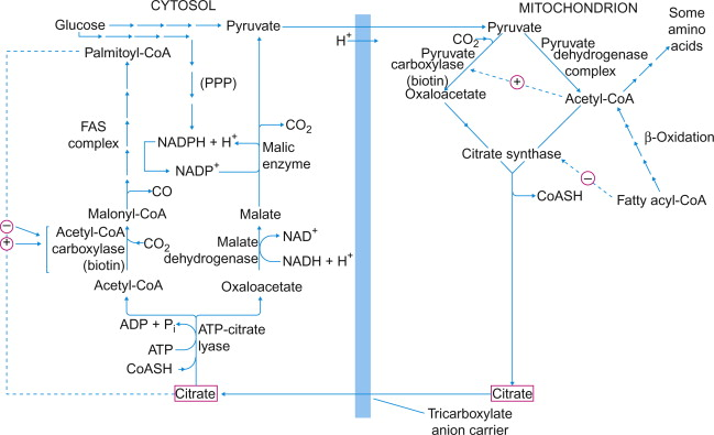 Comprehensive biochemistry / 18,S : Sect. 4, Metabolism, Pyruvate and fatty acid metabolism