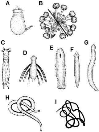 Tricladida plathelminthen. Makroparaziták életciklusa
