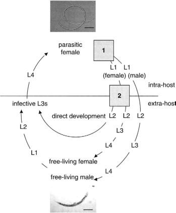 Mi a strongyloidosis, Parazita - Tudástár