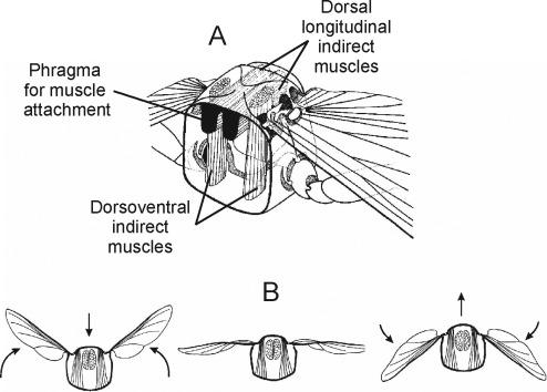 bird flight diagram flight muscles an overview sciencedirect topics  flight muscles an overview