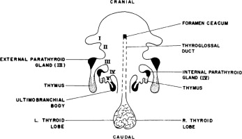 Parathyroid Gland An Overview Sciencedirect Topics
