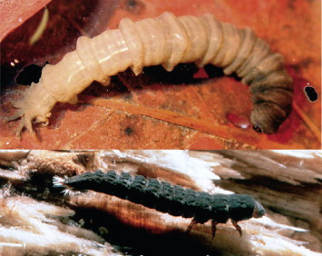 Trichoptera - an overview | ScienceDirect Topics