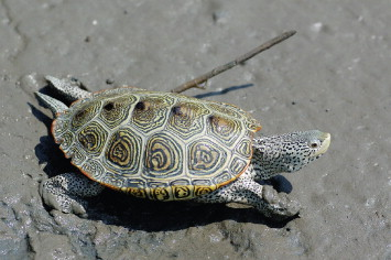 Diamondback Terrapin - an overview | ScienceDirect Topics