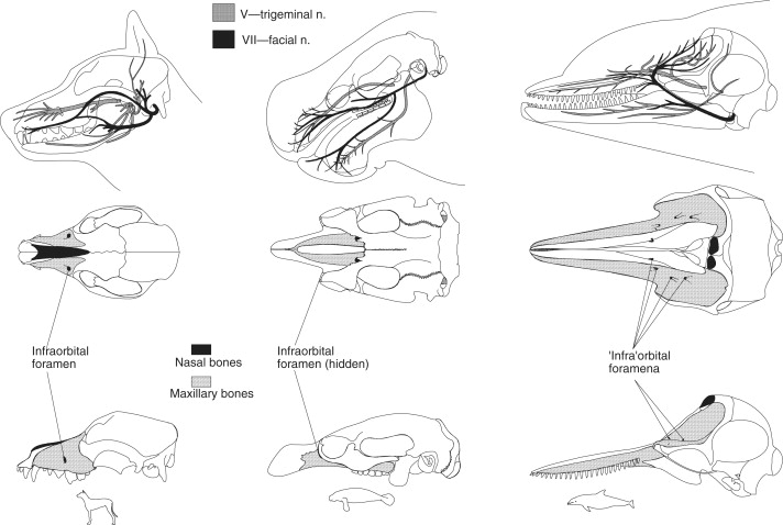 Skull Anatomy Sciencedirect Anteroinferiorly it articulates with the vomer. skull anatomy sciencedirect