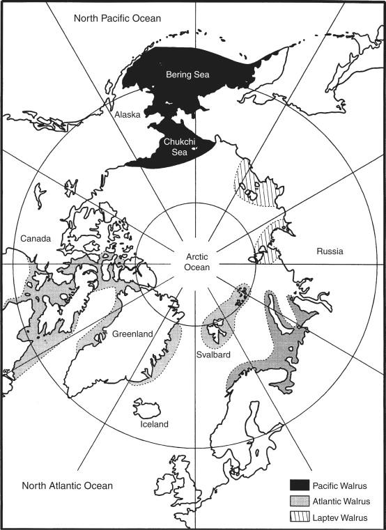 Walrus Odobenus Rosmarus