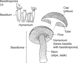 Psilocybe - an overview | ScienceDirect Topics