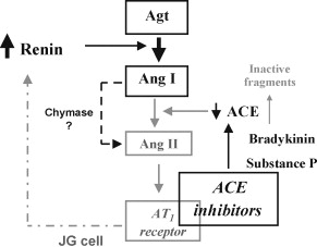 Concept Map Renin Angiotensin Aldosterone Mechanism.Physiology And Regulation Of The Renin Angiotensin Aldosterone