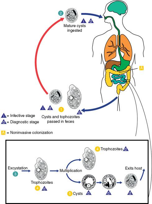 entameba coli parazita