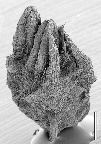 Castanopsis - an overview | ScienceDirect Topics