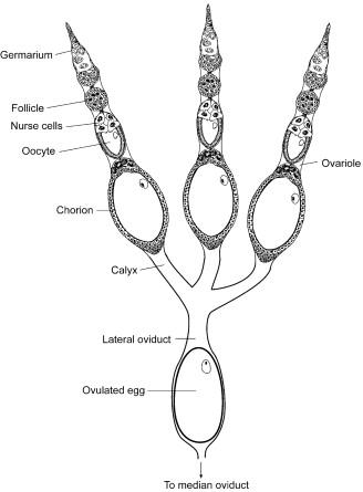 Ovariole