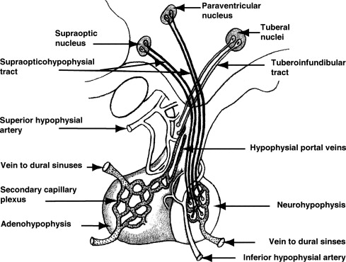 Adenohypophysis An Overview Sciencedirect Topics