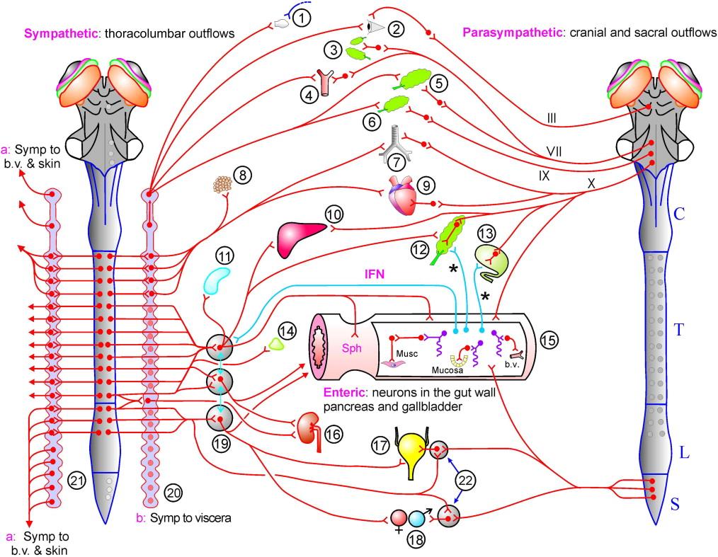 Peripheral Autonomic Nervous System - ScienceDirect
