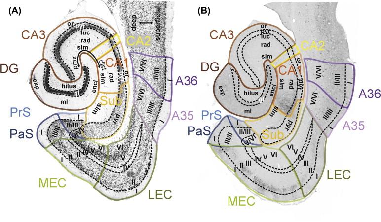 Hippocampal Formation Sciencedirect