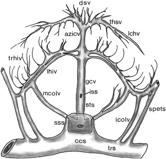 Cerebral Vascular System
