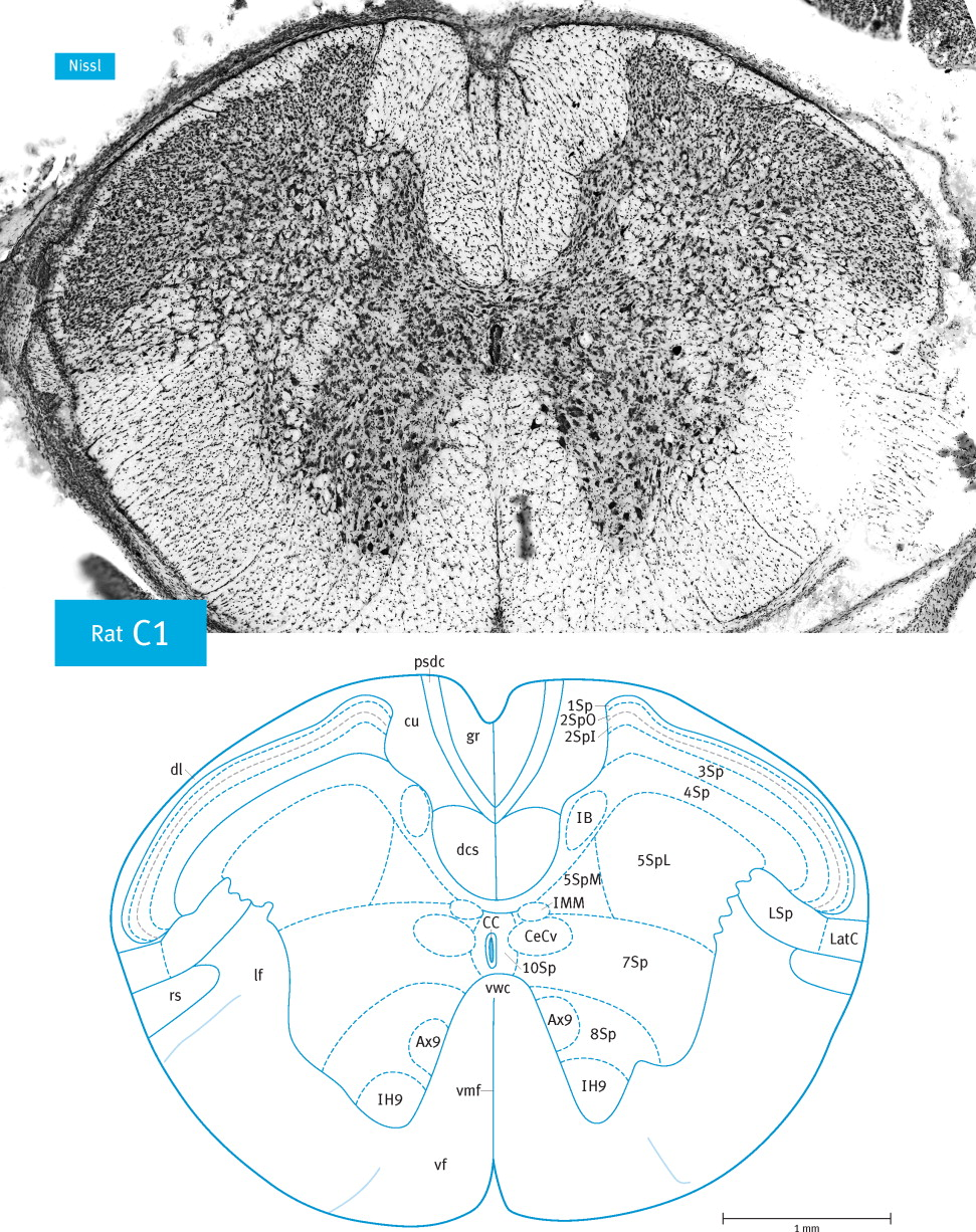 Atlas Of The Rat Spinal Cord Sciencedirect