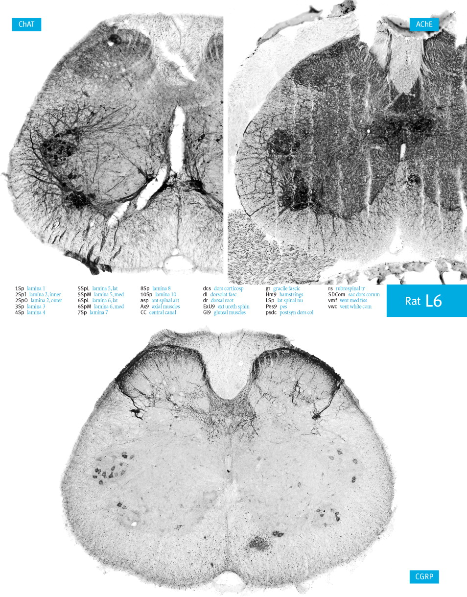Atlas of the Rat Spinal Cord - ScienceDirect
