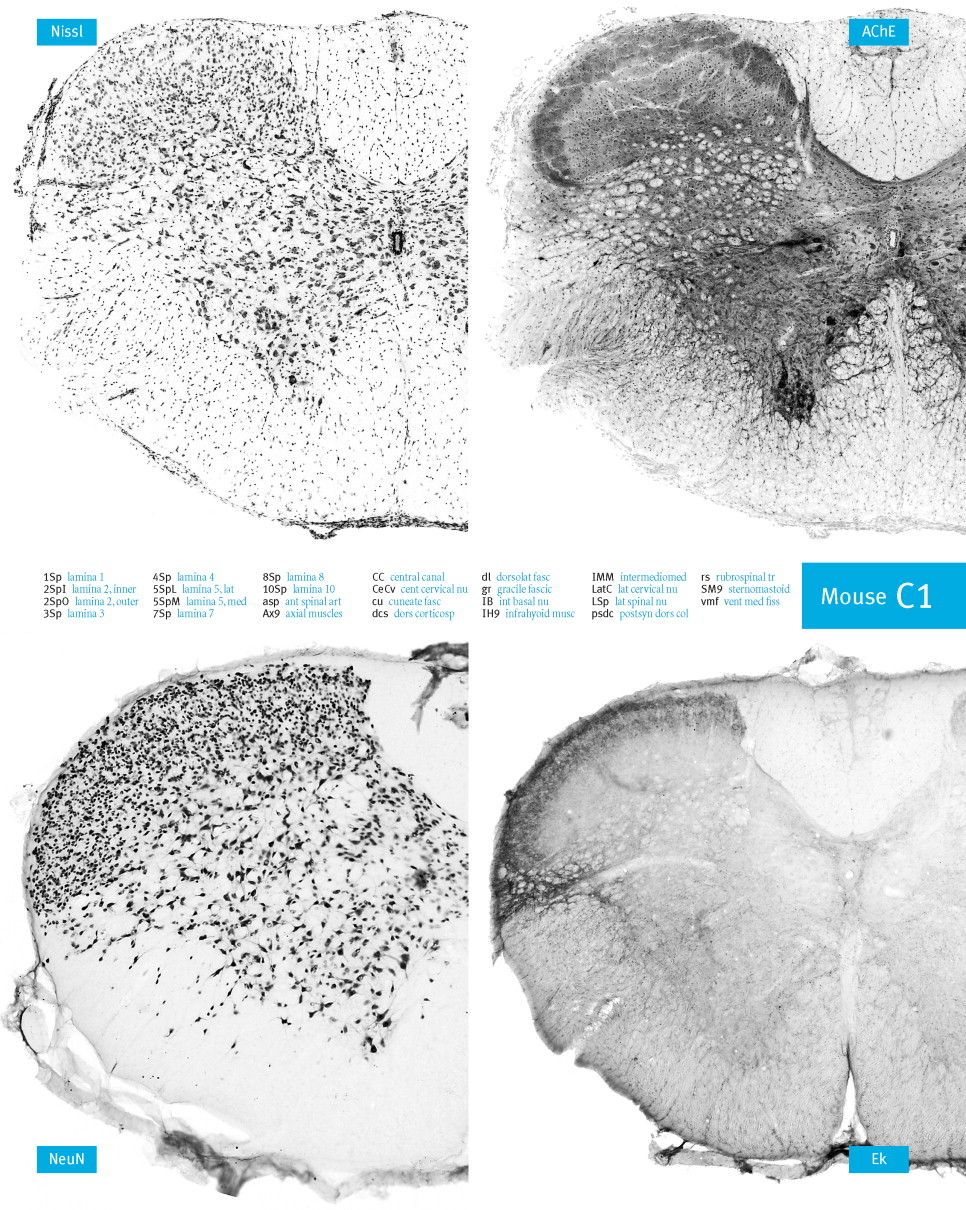 Atlas of the Mouse Spinal Cord - ScienceDirect