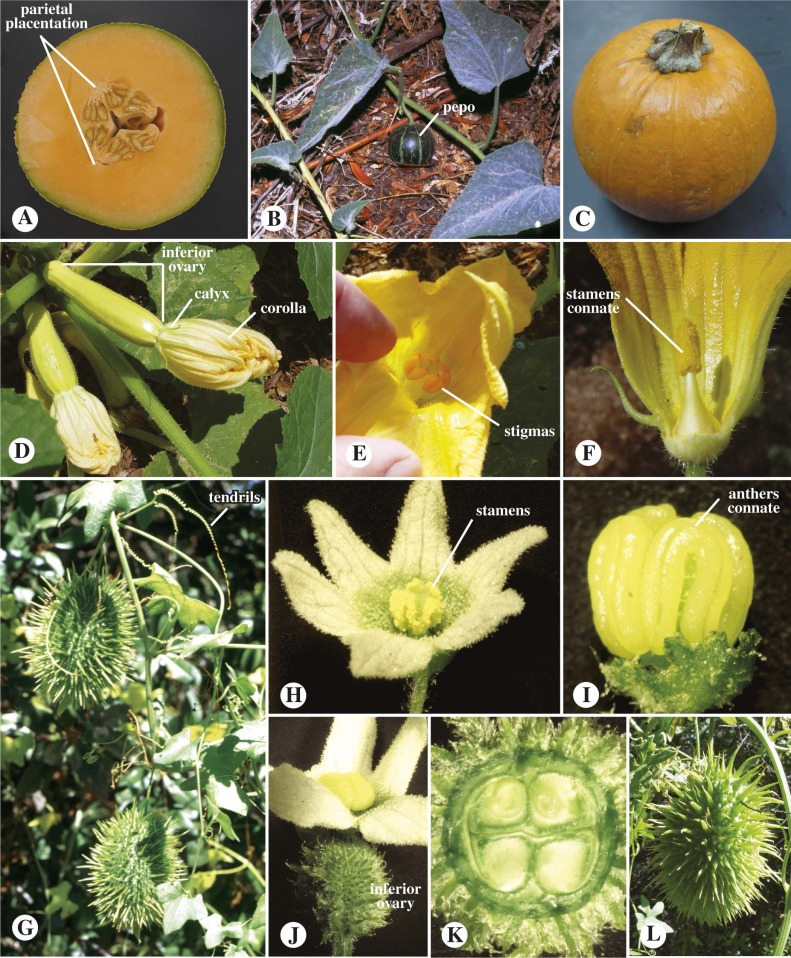 Cucurbitaceae An Overview Sciencedirect Topics