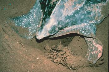Sea Turtle - an overview | ScienceDirect Topics