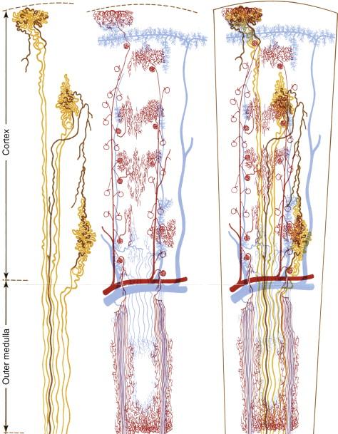 The Renal Microcirculation Sciencedirect