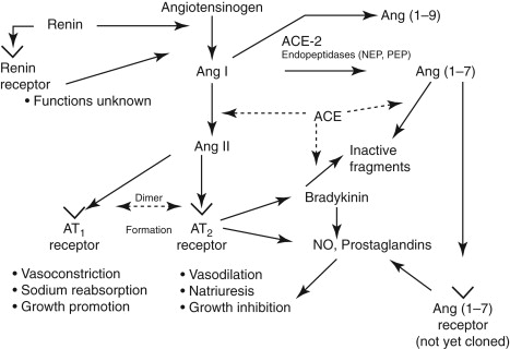 Pathophysiology of Primary Hypertension - ScienceDirect