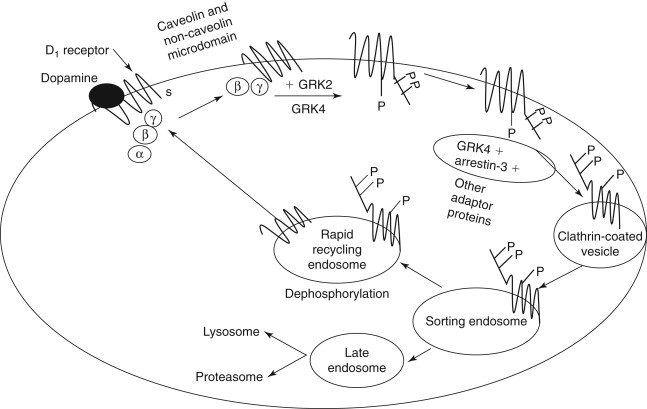Pathophysiology Of Primary Hypertension