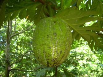 Beneficial Uses Of Breadfruit Artocarpus Altilis Nutritional