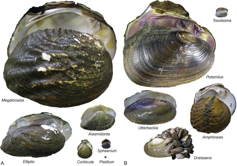 Mollusca 6: Bivalvia, Volume 3