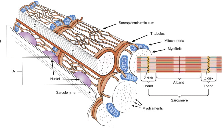Muscle Fiber Memne - an overview | ScienceDirect Topics on