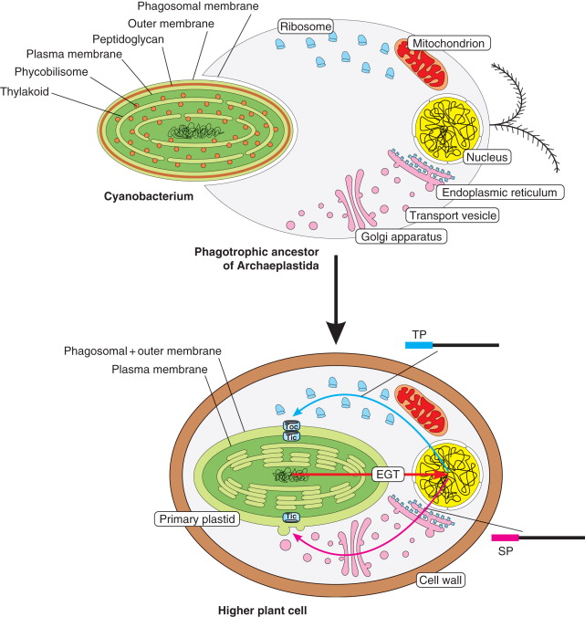 Challenges to Endosymbiotic Theory 3-s2.0-B9780123749840016788-f01678-02-9780123749840