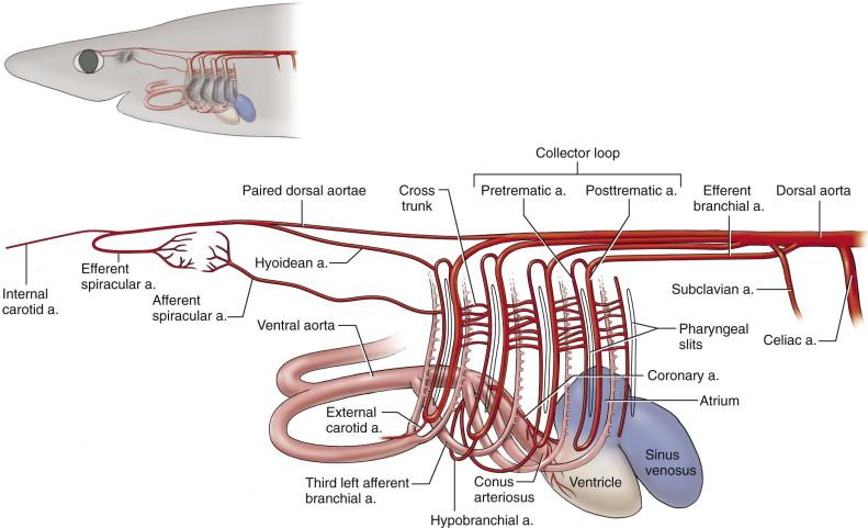 Conus Arteriosus An Overview Sciencedirect Topics