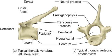 Thoracic Vertebrae - an overview | ScienceDirect Topics
