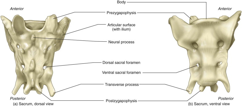 17+ Points where bodies of sacral vertebrae join trends