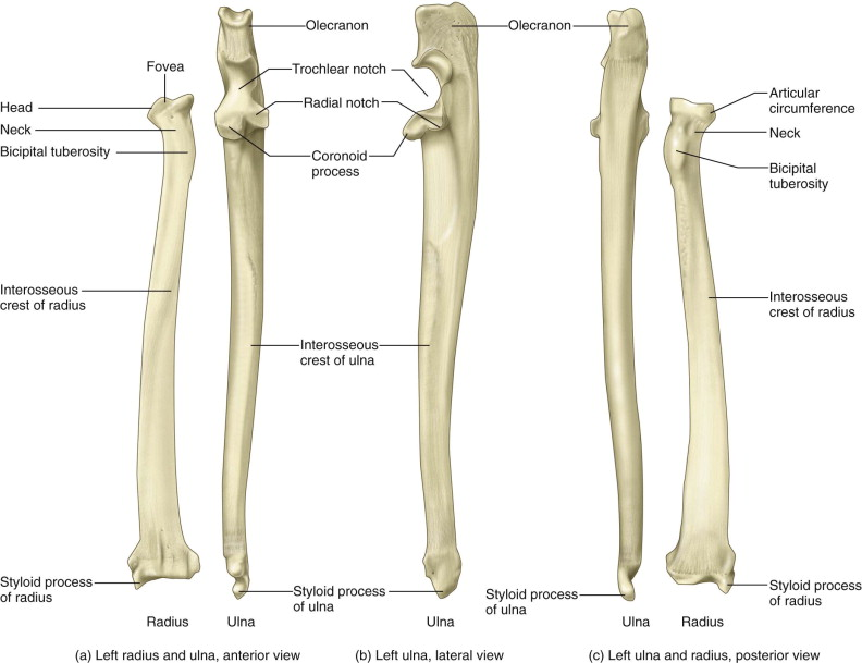 Ulna An Overview Sciencedirect Topics
