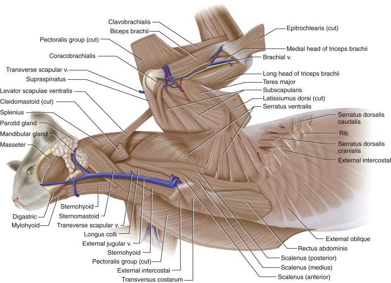 Latissimus Dorsi Muscle An Overview Sciencedirect Topics