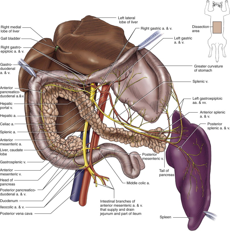 Left Gastric Artery An Overview Sciencedirect Topics