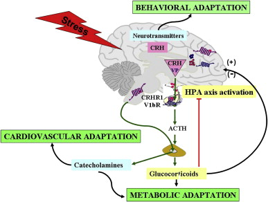 Hypothalamic–pituitary–adrenal axis