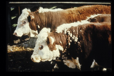 papillomatosis cow