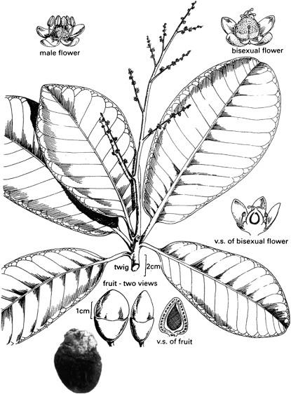 Anacardium