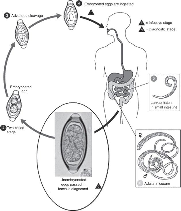 trichocephalus geohelminth