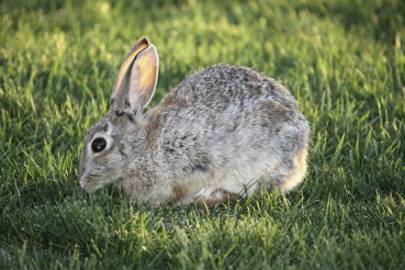 The Domestic Rabbit Oryctolagus Cuniculus Origins And
