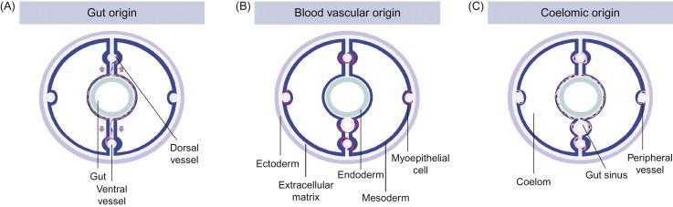Evolutionary Origins of Hearts - ScienceDirect
