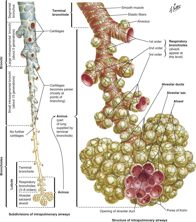 Bronchus An Overview Sciencedirect Topics