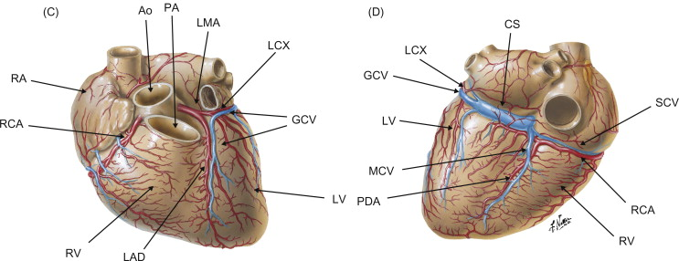 Cardiovascular Sciencedirect