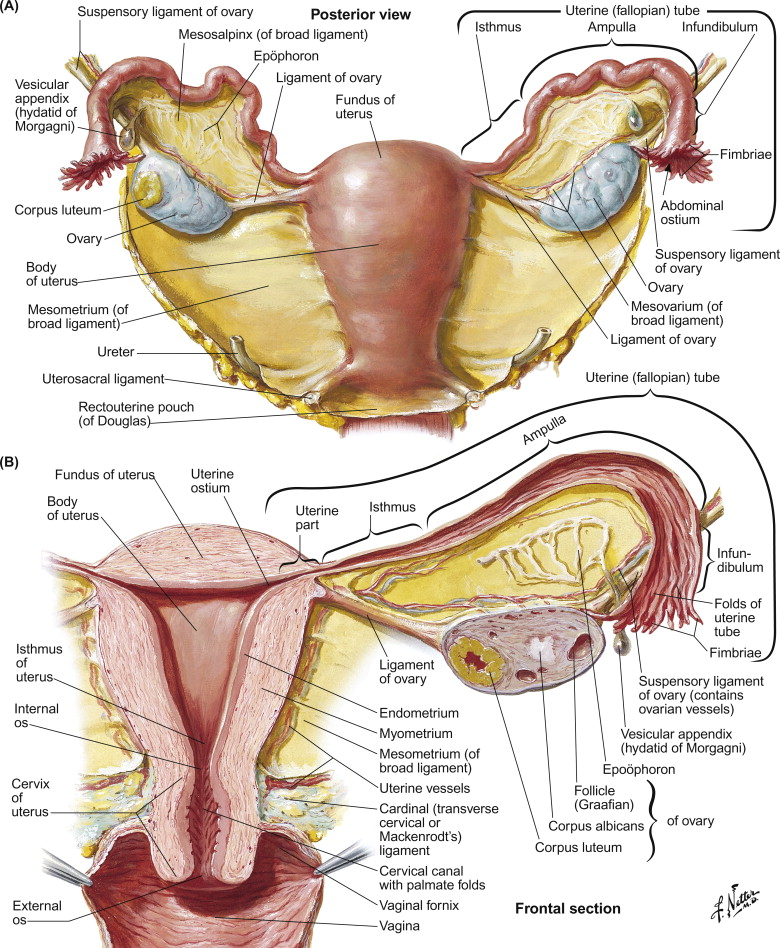 Female Reproductive System - ScienceDirect