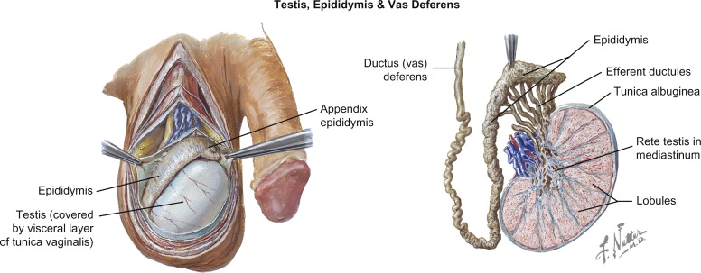 Testes An Overview Sciencedirect Topics