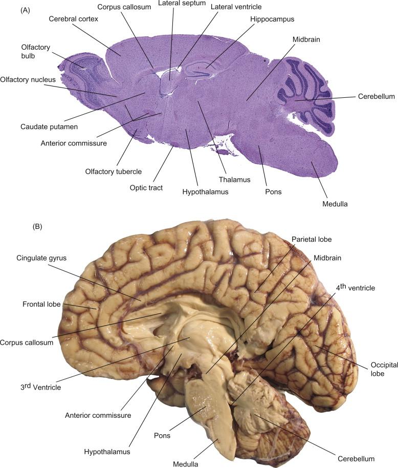 Nervous System Sciencedirect