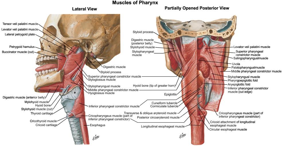 Pharynx An Overview Sciencedirect Topics