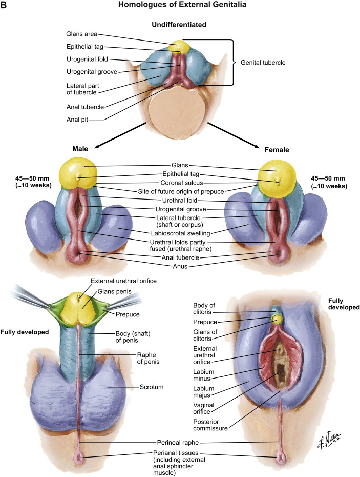 Reproductive Anatomy And Physiology Sciencedirect